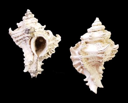 Greta Polites - Fossil Muricidae Species Checklist